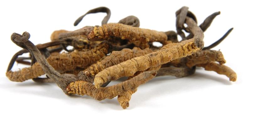 cordyceps-sinensis-caterpillar-fungus